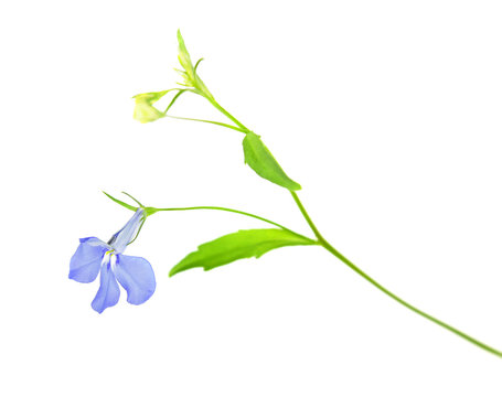 Blue flower of Lobelia erinus or Edging lobelia isolated on white background