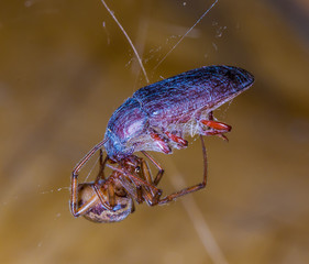 Spider feeding on a trapped beetle, wrapped in spider silk