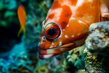 Red sea BlackTip Grouper