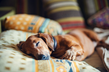 Funny little dog, the dachshund sleeps sweetly on the couch