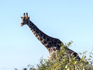 South African giraffe group, Giraffa giraffa giraffa, Chobe National Park, Botswana