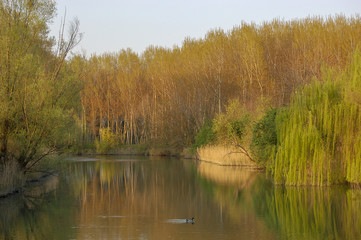 Early evening golden hour light on the golden leaves of trees in spring on the river Sile in the Venetia region, Italy