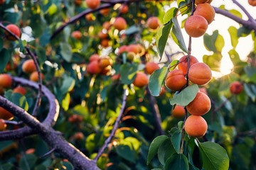Apricot tree with many ripe apricots