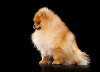 Side view picture of a red fluffy pomeranian spitz isolated on black background
