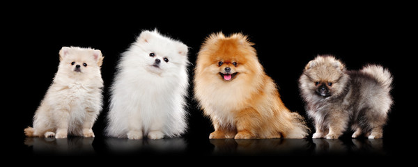 Sitting pomeranian spitz dogs of different colout against black background