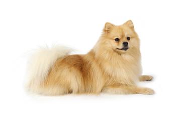 Purebred Pomeranian dog on a white background