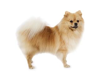 Purebred Pomeranian dog isolated on white background
