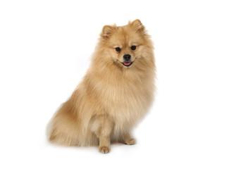 Pomeraniandog sitting on a white background