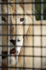Close up face Portrait of majestic white lion lying down in the zoo cage. adult lion with a mane in a cage. close-up predator.