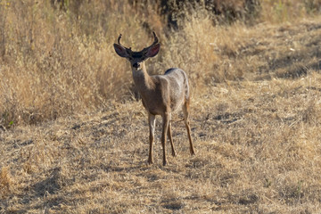 Deer at dusk in California hills
