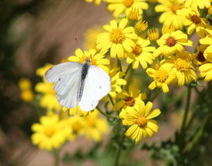 Foto auf AluDibond Blumenhändler Gele bloemen en witte vlinder