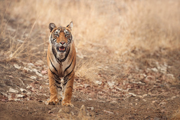 Beautiful tigress in the nature habitat. Tiger walk during the golden light time. Wildlife scene with danger animal. Hot summer in India. Dry area with beautiful indian tiger, Panthera tigris tigris