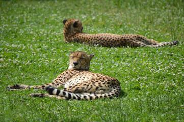Cheetahs siesta under the Sun