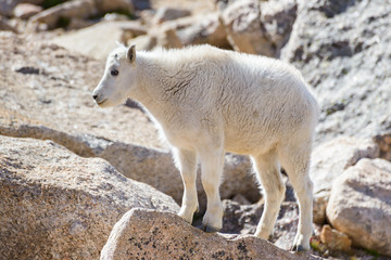 Mountain Goats in the Colorado Rocky Mountains