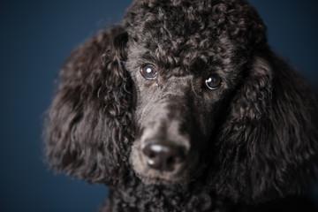 Portrait of standard black poodle