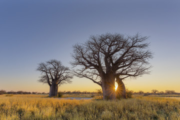 Sun starburst at sunrise in baobab tree