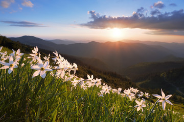 Grass with daffodils. The sunset illuminates the horizon. Sky with clouds. Landscape with high mountains. Forest road. Eco resort, relax for tourists. Location the Carpathian Mountains, Marmarosy.