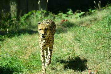 Gepard in Tierpark