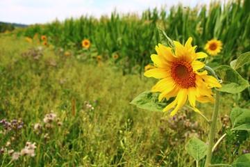 Fotoväggar - ackerrand mit sonnenblumen insektennahtung