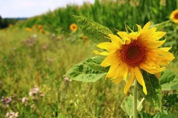 Fotoväggar - feldrand mit sonnenblumen am maisfeld
