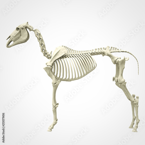 Horse Skeleton Anatomy - isolated on white  3d rendering