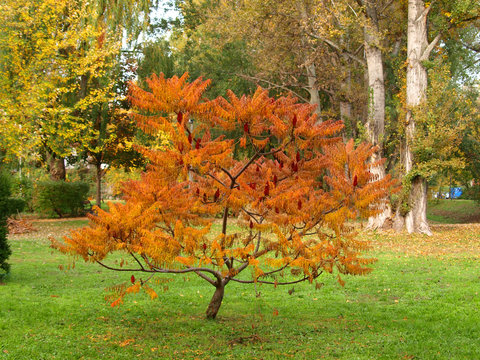 Cut-leaves staghorn sumac in autumn. Also known as Rhus typhina 'Dissecta'.