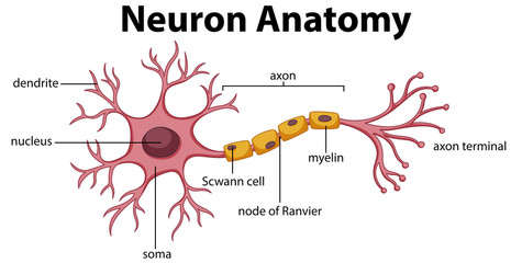 Poster Kids Diagram of Neuron Anatomy