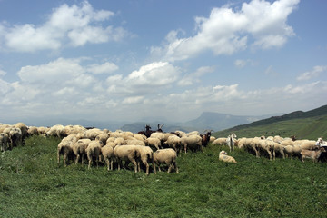 бараны пасутся в горах Дагестана  sheep grazing in the mountains of Dagestan