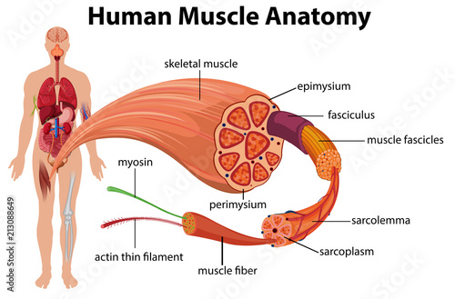 Human Muscle Anatomy Diagram Stock Image And Royalty Free Vector