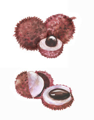 Hand drawn watercolor illustration of isolated litchi fruits on the white background. Super food