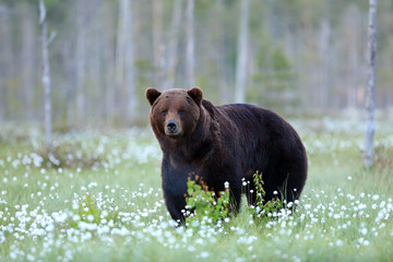 The brown bear (Ursus arctos) big dark male walking in the forest against the light. Big male bear in the finnish taiga.