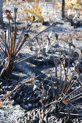 Ashes and fire in wild forest with burned plant