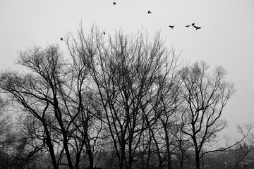 Birds are flying up to sky from trees. Black and white photo.
