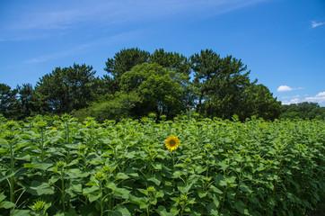 1輪の花咲くひまわり畑