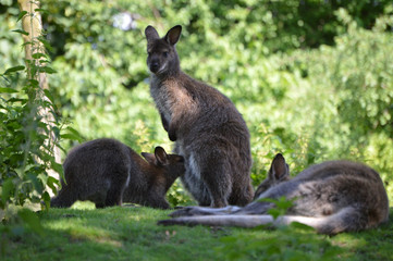 Red-necked wallabies, mother feeding its baby
