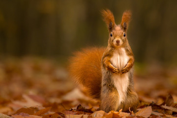 Foto op Aluminium Eekhoorn Cute squirrel in autumn colored forest. Beautiful, fast and clever animal.