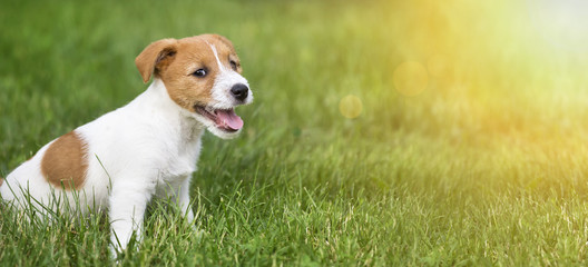 Happy smiling jack russell terrier dog pet puppy sitting in the grass - web banner idea