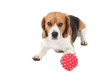 Beagle dog with red toy isolated on white background
