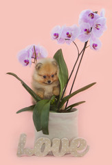 Pomeranian puppy dog in the orchidea