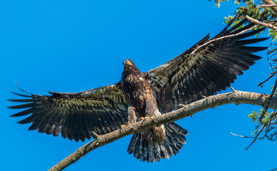 Baby Eagle Shows Off New Wings