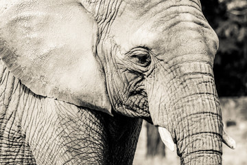 Elephant close-up with sad expression. The head of an elephant close-up. Vintage, grunge old retro style photo.