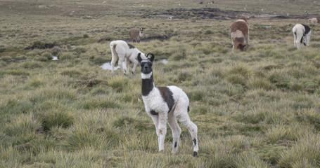 Lama in Bolvia, cordillere of andes