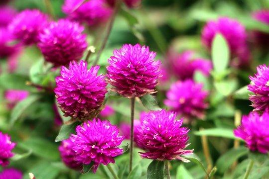 Pink Bachelor's button, Pokok Butang Ungu, Button agaga, Everlasting, Gomphrena,  flowers in the garden