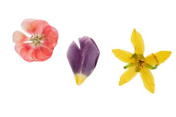 Pressed and dried yellow flower thladiantha, transparent geranium and petals of tulip flower, isolated on white background. For use in scrapbooking, floristry or herbarium.