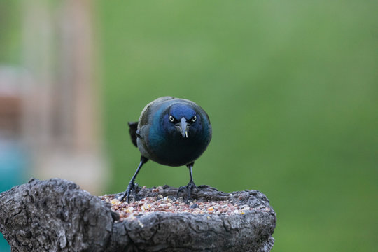 Angry Starling