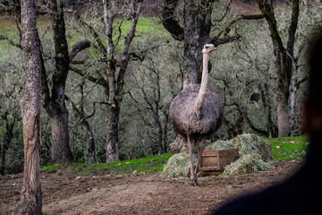 Standing Ostrich approaching - man in foreground