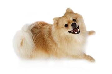 Purebred Pomeranian dog lying in a studio