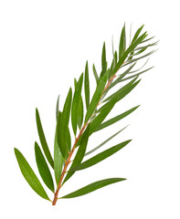 Melaleuca tea tree twig. Isolated on white background