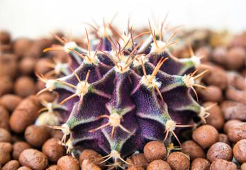 Cactus species Gymnocalycium growth on gravel