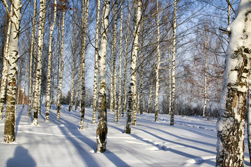 Birch in the snow on a Sunny winter